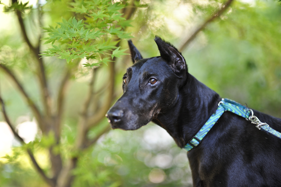 Solid Black Doberman Dsc 1855 atlanta doberman