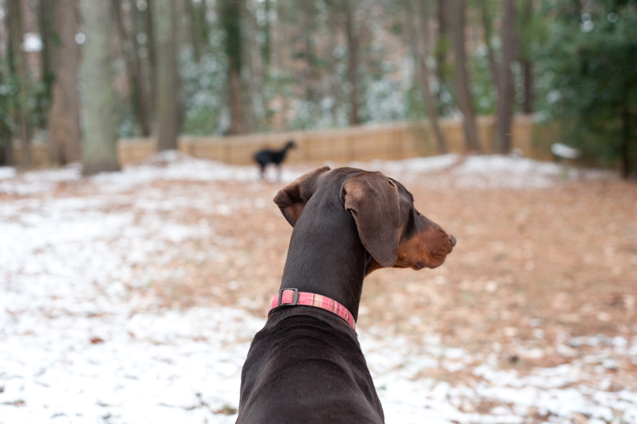 Dobermans in snow