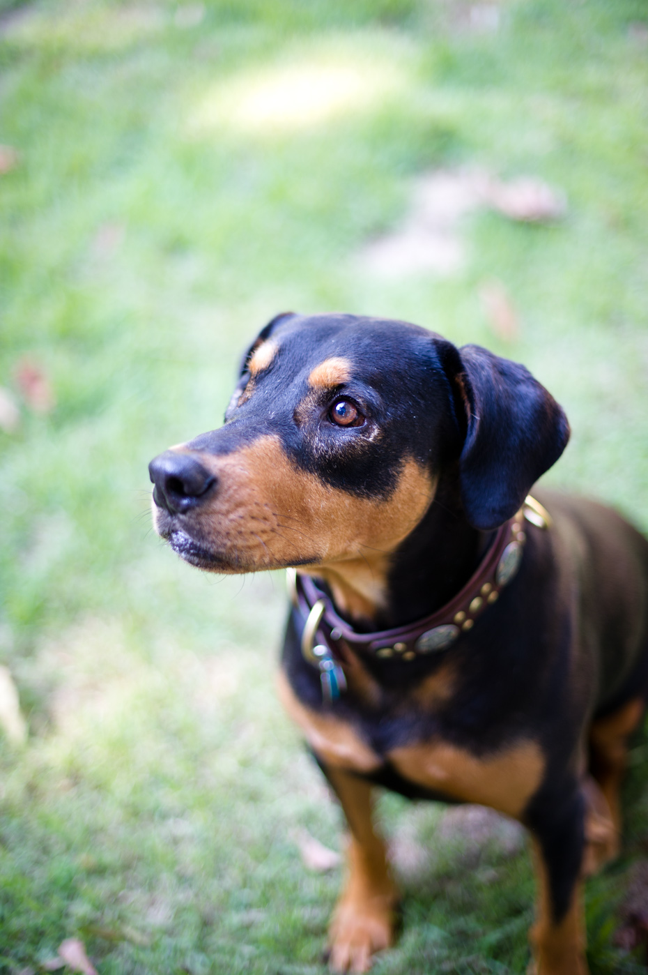 atlanta doberman rescue