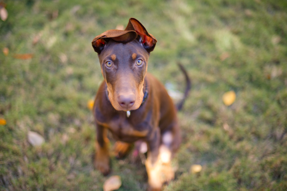 Red Doberman with a tail and natural ears